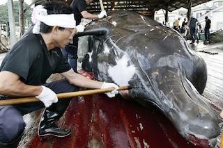 Strage di balene: il Giappone ha vinto. Sea Shepherd rinuncia a sfidare le baleniere