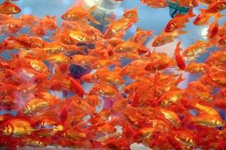 Pesci rossi: scoperto come fanno a sopravvivere senza ossigeno