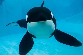 È morta l'orca Kasatka: uccisa con l'eutanasia dopo 40 anni vissuti in cattività
