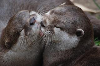 Le lontre si copiano a vicenda per imparare a vivere