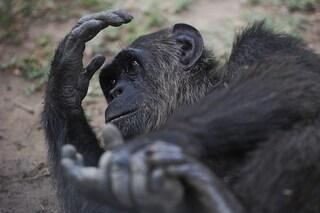 Gli scimpanzé hanno imparato a giocare a sasso-carta-forbice e potrebbero battere un bambino