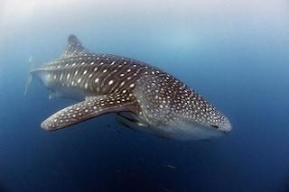 Anche gli squali 'prendono l'autostrada' e si trova nell'Oceano Pacifico: a cosa serve