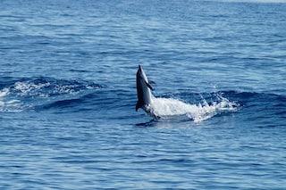 Cetacei, boom di avvistamenti nel Mar Ligure: balene e delfini in aumento