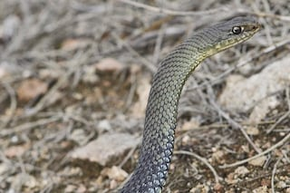 Chi è il raro serpente colubro lacertino trovato per caso a Modena e perché non è pericoloso