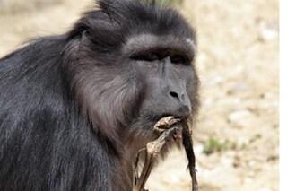 Divora il figlio morto, il dramma di Evalyne, mamma macaco salvata in Italia