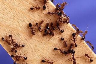 Psoriasi, il veleno delle formiche di fuoco è una possibile cura: come funziona
