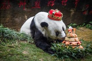 È morto Basi, il panda gigante più anziano del mondo: aveva 37 anni, il doppio della media