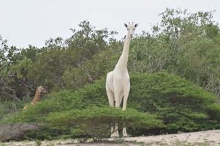 Bianche ed eleganti, il video delle rarissime giraffe con leucismo: cosa significa