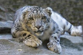 Il leopardo delle nevi non è più a rischio estinzione, ma è ancora in pericolo