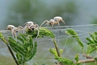 Questi ragni quando sono affamati si nutrono delle madri e delle femmine vergini