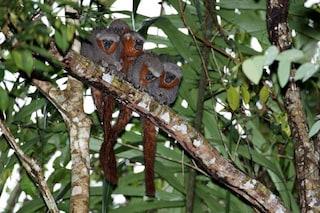 Dal delfino 'rosa' alla scimmia dalla coda di fuoco, c'è un nuovo mondo in Amazzonia
