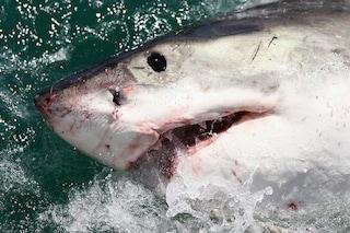 Strage di squali in Australia: in mezzo secolo scomparso fino al 92% degli esemplari