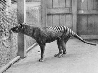 Trovata Tigre tasmaniana rediviva? I filmati non lo dimostrano