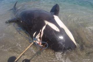 Famiglia di orche brutalmente uccisa: così hanno ammazzato madre, padre e piccolo
