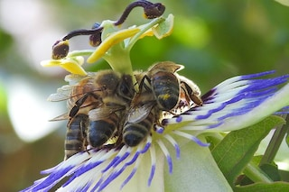 I pesticidi che utilizziamo tutti i giorni minacciano la sopravvivenza delle api: conferma EFSA