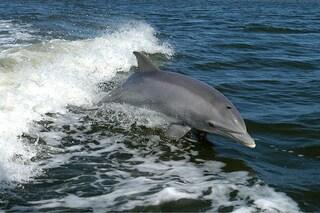 Femmine di delfino vittime di 'stupri' di gruppo: perché hanno una vagina per proteggersi