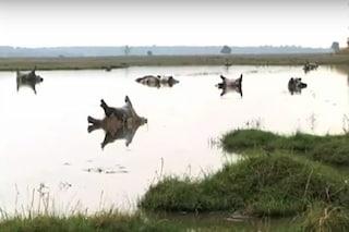 Strage di ippopotami in Namibia, 100 morti: epidemia di antrace la probabile causa