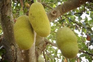 Jackfruit, il frutto enorme che sa di porchetta e sostituirà la carne