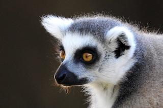 Questi lemuri sentono l'odore della debolezza e così sconfiggono i rivali