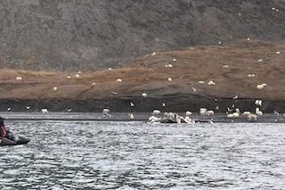 Duecento orsi polari insieme per mangiare: perché le immagini lasciano a bocca aperta