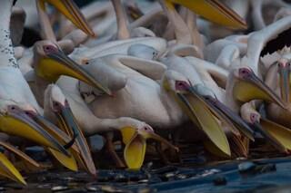 Perché gli israeliani danno da mangiare ai pellicani durante l'annuale migrazione
