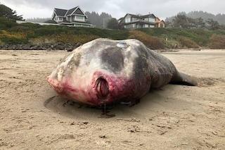 Gigantesco pesce spiaggiato e morto: il pesce luna forse ucciso da una nave
