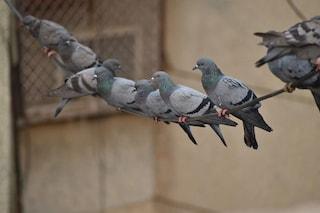 Avvelenamento da tallio: cos'è, quali sono sintomi, cura e i rischi delle feci dei piccioni