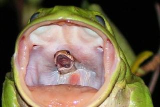 Un serpente ancora vivo nella bocca di una rana: cosa si nasconde dietro a questa foto
