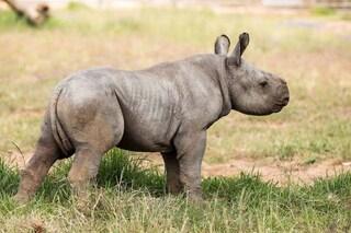 Rinoceronte nero, la specie a rischio estinzione festeggia una nuova nascita: le immagini