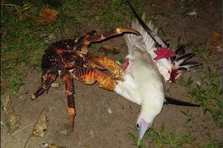 Un granchio del cocco gigante attacca, uccide e mangia un uccello: il video dell'aggressione