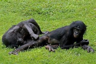 Bonobo altruisti come noi: aiutano spontaneamente le scimmie che hanno bisogno