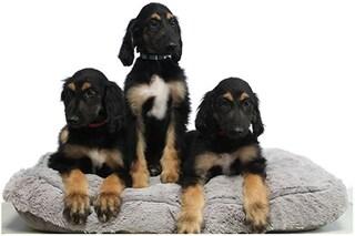 Perché hanno clonato il primo cane clonato: le foto dei tre cuccioli di Tai, il paziente zero