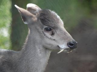 Lo strano caso del cervo vampiro afgano