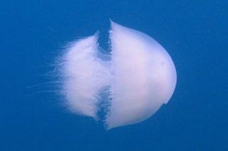 Medusa 'aliena' e invasiva dal Mar Rosso in Sicilia: perché gli scienziati sono preoccupati