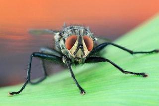 Feci e malattie, le mosche che si posano sul cibo sono pericolose per la nostra salute