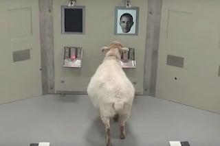 Le pecore riconoscono la nostra faccia da una semplice fotografia: il video che lo dimostra