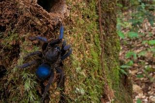 Una tarantola blu e altri 30 nuovi animali vivono in un paradiso 'segreto' nella Guyana