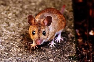 Perché gli scienziati stanno trapiantando mini-cervelli umani nei roditori