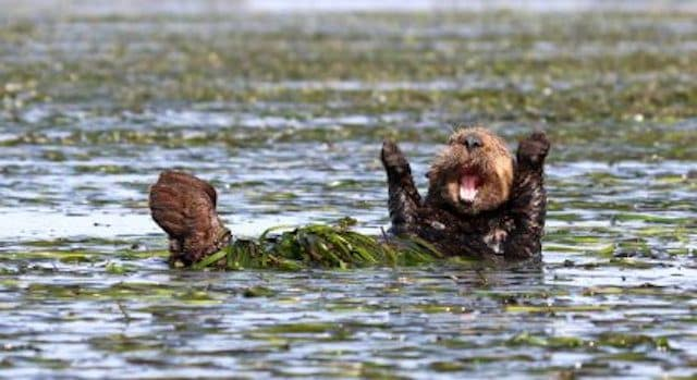"""Cheering–sea–otter"" by Penny Palmer. © Penny Palmer/Comedy Wildlife Photo Awards"