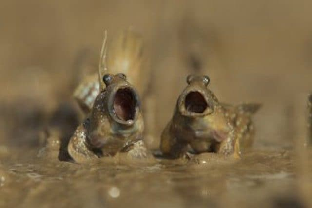 """Mudskippers Got Talent"" by Daniel Trim. © Daniel Trim/Comedy Wildlife Photo Awards"