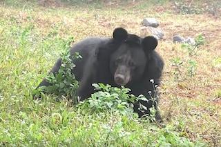 Hai Chan, l'orsa senza piedi, è libera e felice dopo 10 anni di torture: il video