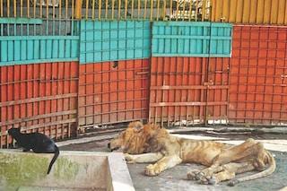 Juboraj è morto: il leone scheletrico rinchiuso nello zoo da 18 anni adesso è libero