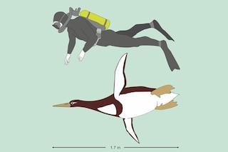 Il pinguino grande come un uomo: il gigante estinto scoperto in Nuova Zelanda
