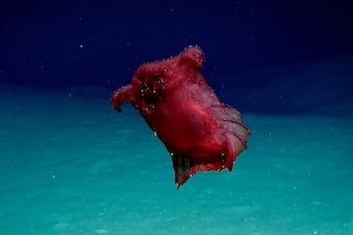 Mostruoso pollo senza testa filmato nel Golfo del Messico: tutto su questo cetriolo di mare