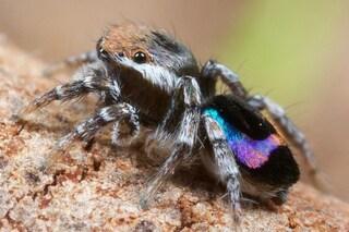 L'arcobaleno sul 'sedere' dei ragni pavone in realtà non esiste: lo vede il tuo cervello