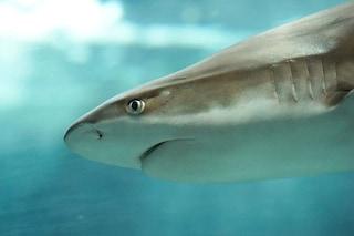 Rarissimo squalo intersessuale emerge dalle acque di Taiwan: è sia maschio che femmina