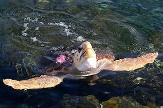 Strage di tartarughe: la plastica nello stomaco le fa galleggiare e morire di fame