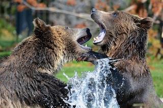 Perché gli orsi sono considerati gli agricoltori più importanti dell'Alaska