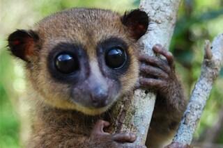 Il lemure nano di Groves è appena stato scoperto e ha già fatto innamorare tutti: è minuscolo