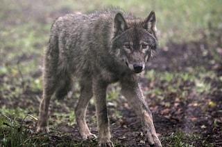 Belle notizie per il lupo italiano: popolazione in aumento, occupa il 25% del territorio